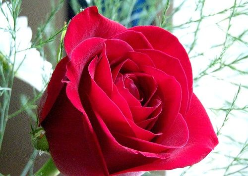 Prent getiteld Rose open2