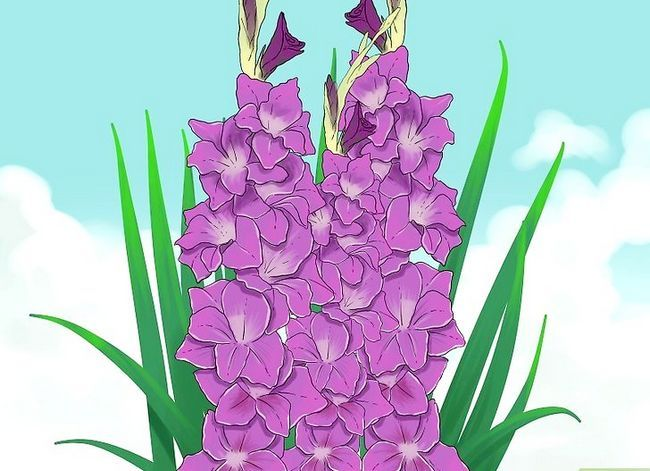 Prent getiteld Sny Gladiolus Stap 1