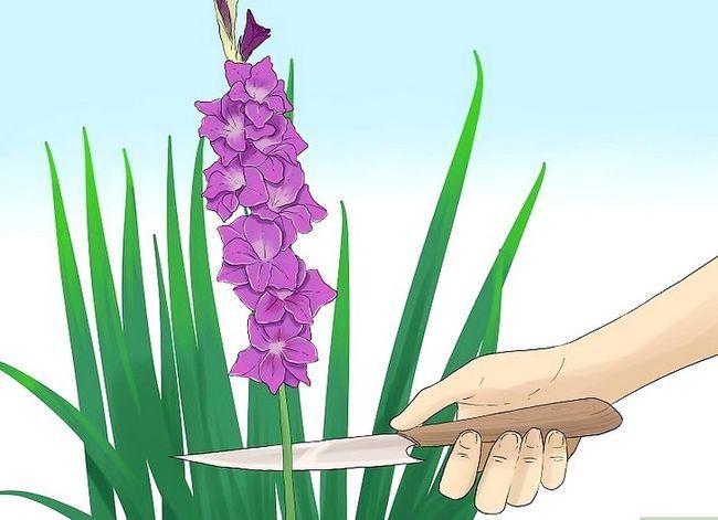 Prent getiteld Sny Gladiolus Stap 1Bullet1