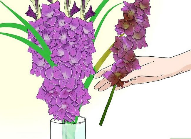 Prent getiteld Sny Gladiolus Stap 6
