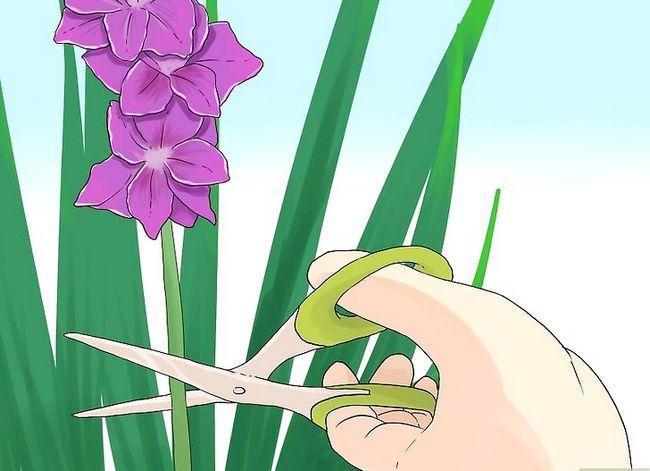 Prent getiteld Sny Gladiolus Stap 7