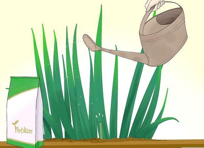 Prent getiteld Sny Gladiolus Stap 9