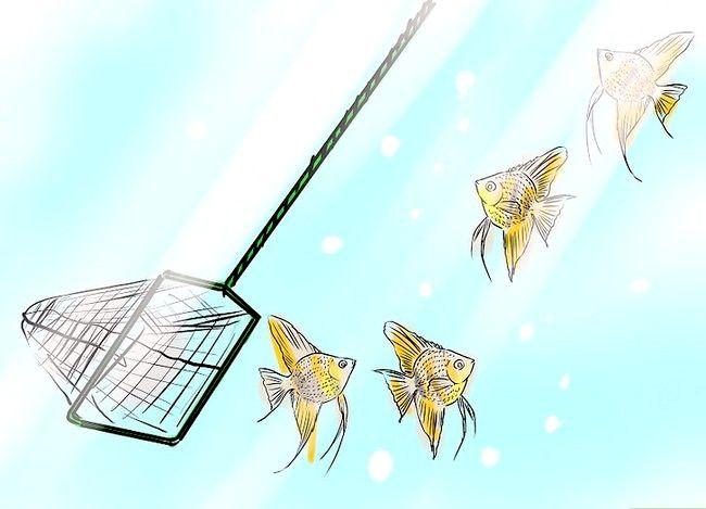 Prent getiteld Ras Angelfish Stap 6