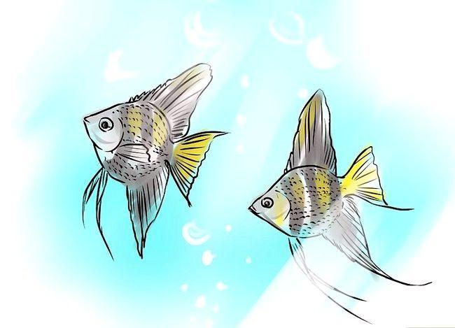 Prent getiteld Ras Angelfish Stap 7