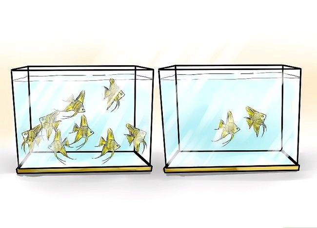 Prent getiteld Ras Angelfish Stap 10