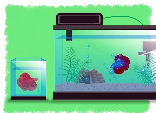 Prent getiteld Breed Betta Fish Stap 12
