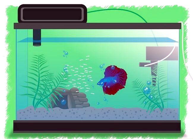Prent getiteld Breed Betta Fish Stap 13