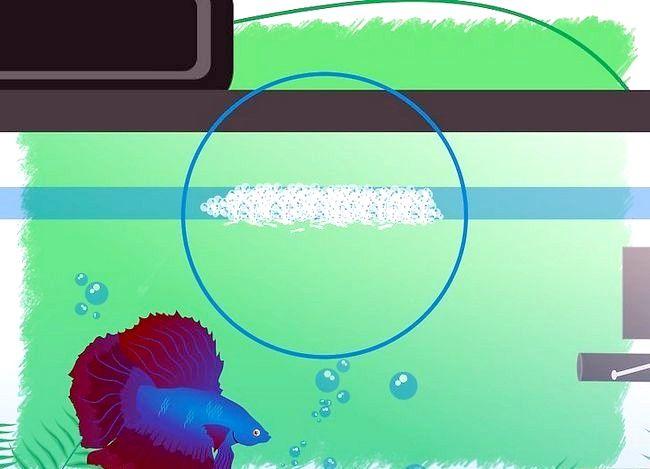 Prent getiteld Breed Betta Fish Stap 14