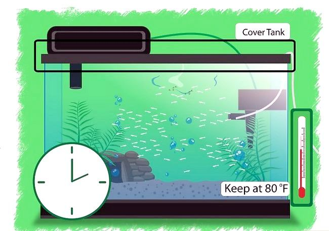 Prent getiteld Breed Betta Fish Stap 17