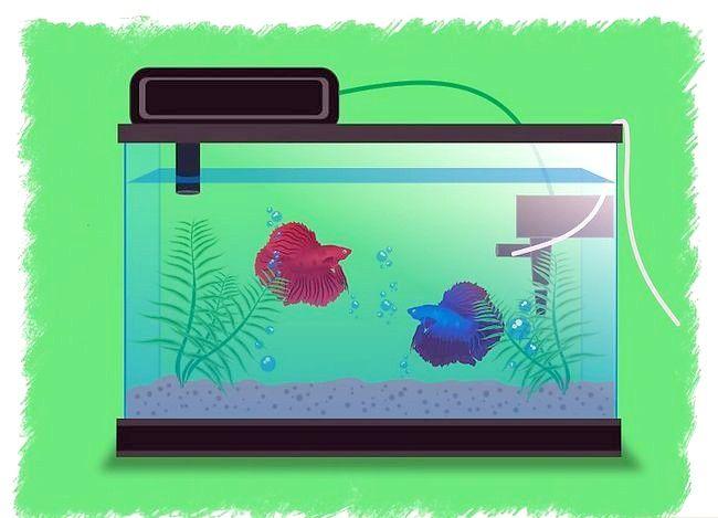 Prent getiteld Breed Betta Fish Stap 4