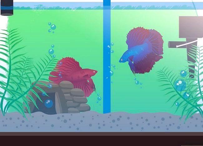 Prent getiteld Breed Betta Fish Stap 8