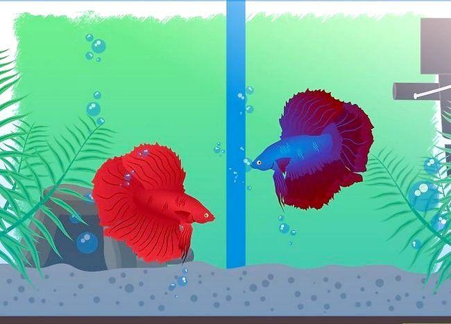 Prent getiteld Breed Betta Fish Stap 9