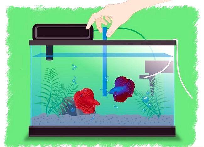 Prent getiteld Breed Betta Fish Stap 10