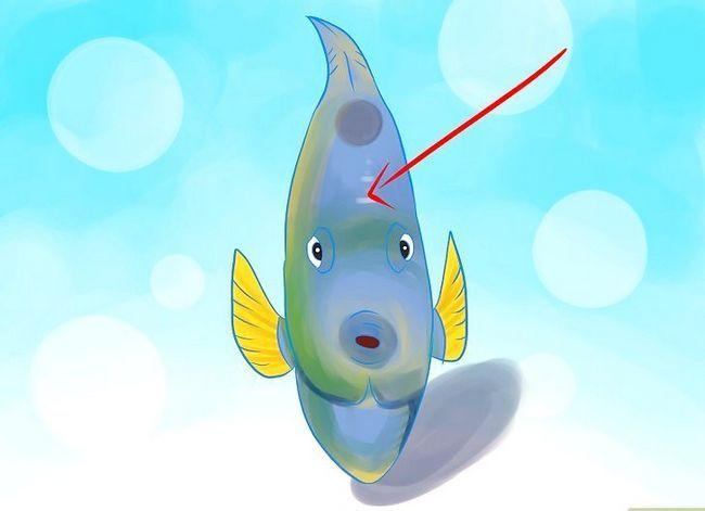 Prent getiteld Ras Varswater Angelfish Stap 1
