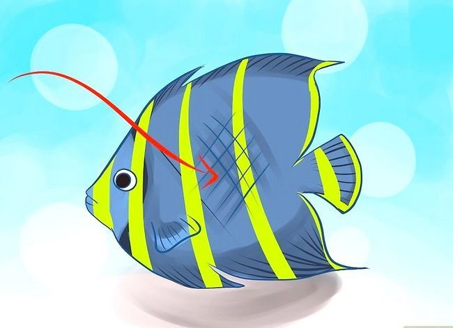 Prent getiteld Ras Varswater Angelfish Stap 2