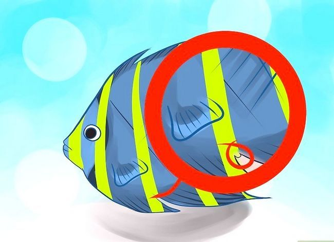 Prent getiteld Ras Varswater Angelfish Stap 3