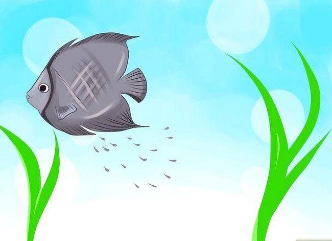 Prent getiteld Ras Varswater Angelfish Stap 4