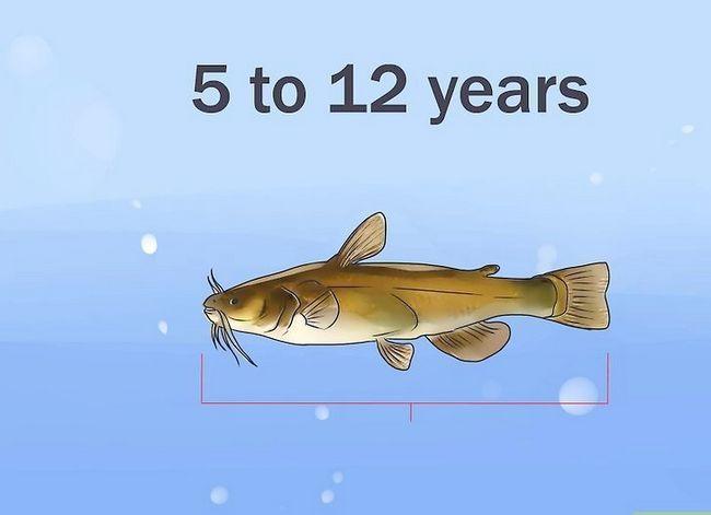 Prent getiteld Hou `n Bullhead Catfish Stap 6