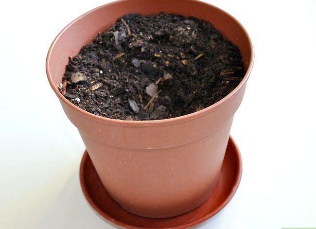 Beeld getiteld Kweek `n Avokado As `n Huisplant Stap 14
