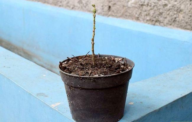 Prent getiteld Groei Bloei Plante Deur Stingels Stap 12
