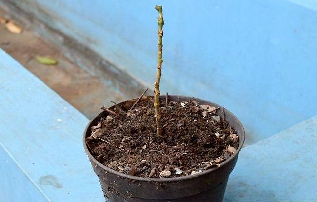 Prent getiteld Groei Bloei Plante Deur Stingels Stap 10