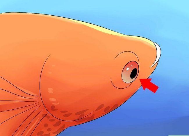 Prent getiteld Cure Betta Fish Siektes Stap 2