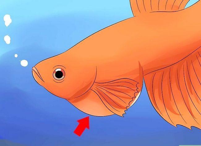 Prent getiteld Cure Betta Fish Siektes Stap 3