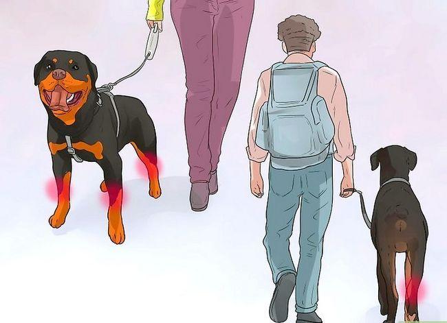 Prent getiteld Artritis diagnoseer in Rottweilers Stap 14