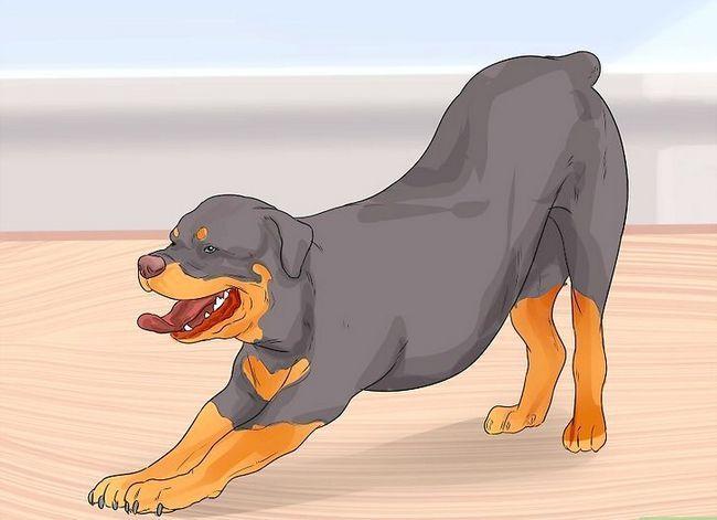 Prent getiteld Diagnose Artritis in Rottweilers Stap 4