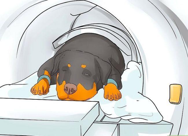 Prent getiteld Artritis diagnoseer in Rottweilers Stap 8