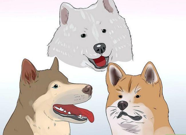 Prent getiteld Diagnose autoimmuniese afwykings in Siberiese Huskies Stap 6