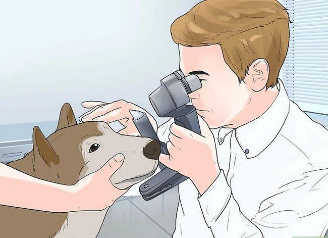 Prent getiteld Diagnose autoimmuniese afwykings in Siberiese Huskies Stap 8