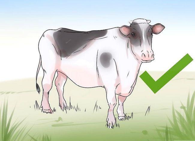 Prentjie getiteld Kry `n Downer Cow Back Up nadat sy natuurlik afgelewer is na `n baie groot kalf Stap 3
