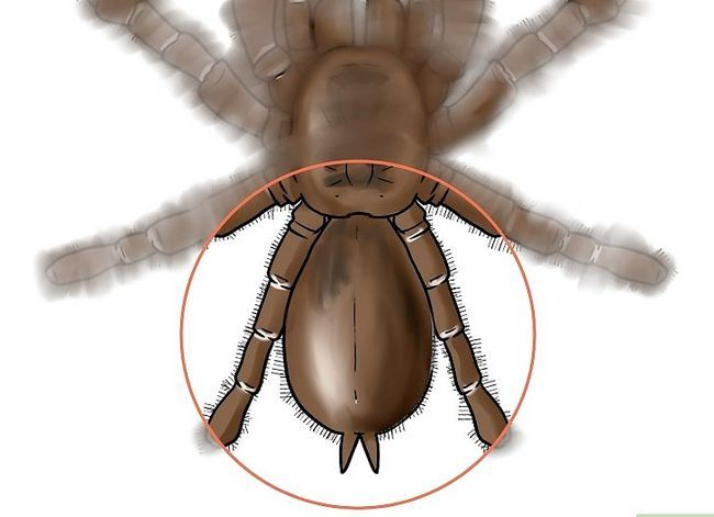 Prent getiteld Identifiseer `n Baboon Spider Stap 2