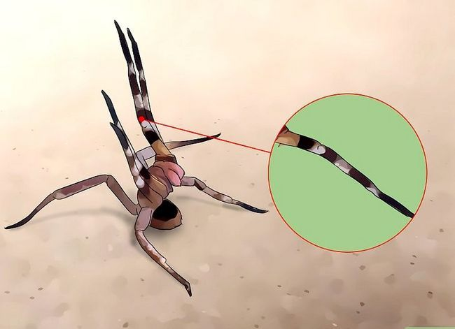 Prent getiteld Identifiseer `n Brazilian Wandering Spider Stap 4