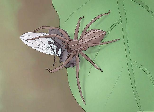 Prent getiteld Identifiseer `n Nursery Web Spider Stap 7