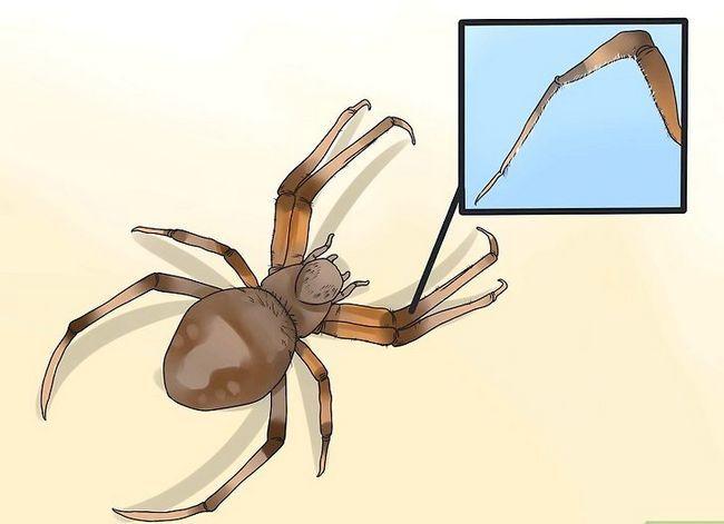 Prent getiteld Identifiseer `n Skuur Spider Stap 3
