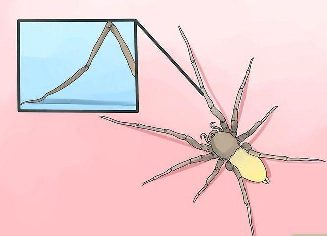 Prent getiteld Identifiseer `n Geel Sakkie Spider Stap 2