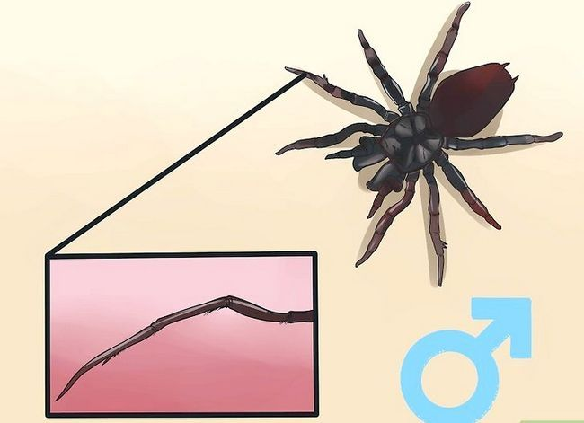 Prent getiteld Identifiseer `n Trechter Spider Stap 3