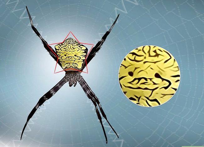 Prent getiteld Identifiseer `n Banana Spider Stap 16