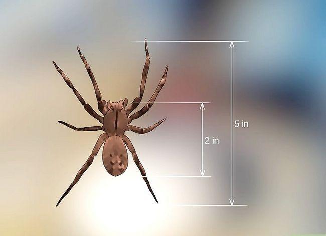 Prent getiteld Identifiseer `n Banana Spider Stap 10