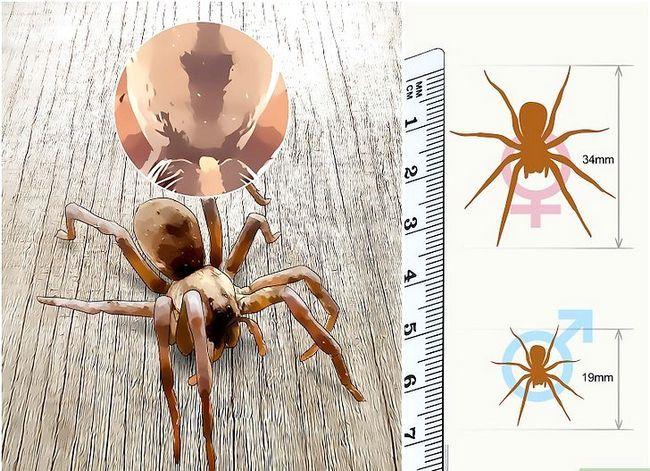 Prent getiteld Identifiseer `n Wolf Spider Stap 1
