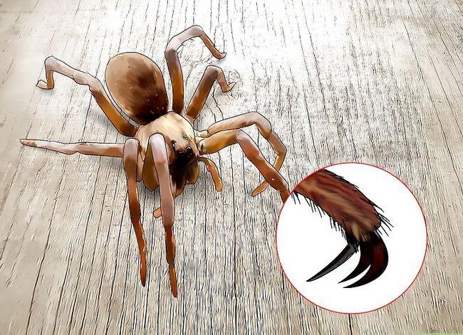 Prent getiteld Identifiseer `n Wolf Spider Stap 3