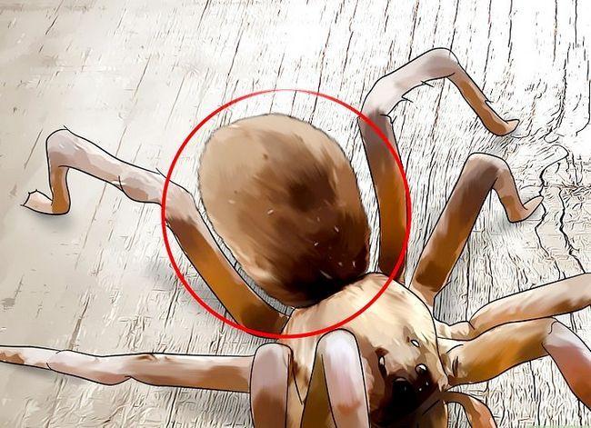 Prent getiteld Identifiseer `n Wolf Spider Stap 5