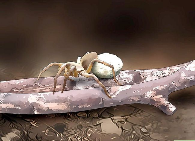Prent getiteld Identifiseer `n Wolf Spider Stap 8