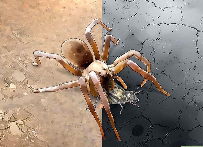 Prent getiteld Identifiseer `n Wolf Spider Stap 10
