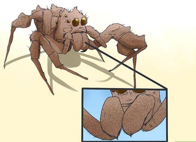 Prent getiteld Identifiseer `n Portia Spider Stap 4