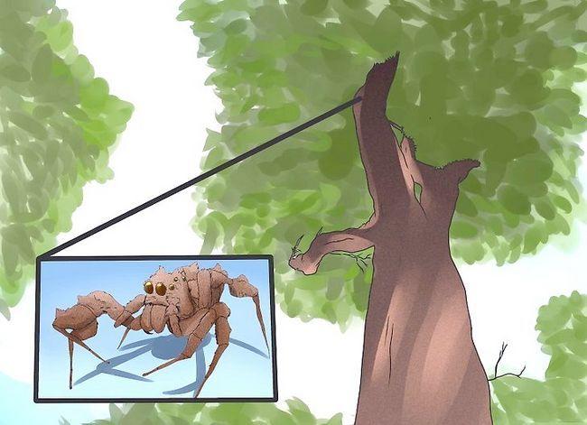 Prent getiteld Identifiseer `n Portia Spider Stap 5