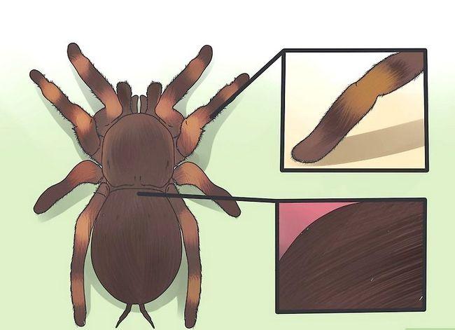 Prent getiteld Identifiseer `n Tarantula Spider Stap 2