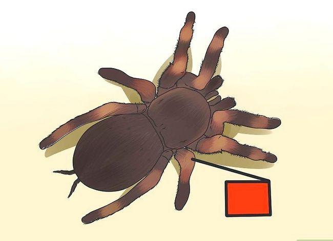 Prent getiteld Identifiseer `n Tarantula Spider Stap 3